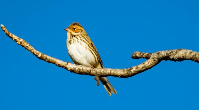 香格里拉飞羽天堂——每日观鸟台  小鹀