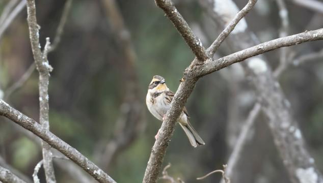 香格里拉飞羽天堂——每日观鸟台 黄喉鹀