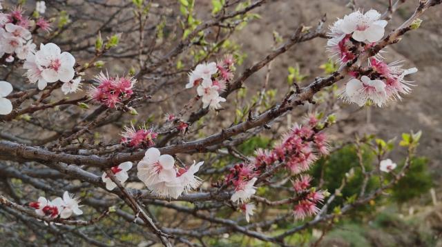 迪庆高原的春天来了