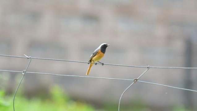 香格里拉飞羽天堂——每日观鸟台 黑喉红尾鸲