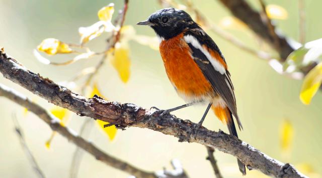 香格里拉飞羽天堂——每日观鸟台 白喉红尾鸲