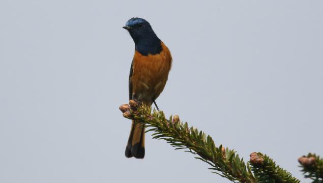 香格里拉飞羽天堂——每日观鸟台 蓝额红尾鸲