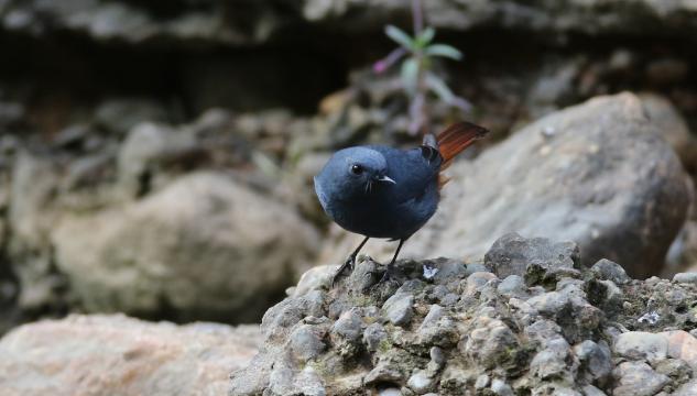 香格里拉飞羽天堂——每日观鸟台 红尾水鸲