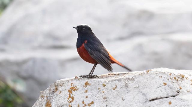 香格里拉飞羽天堂——每日观鸟台 白顶溪鸲
