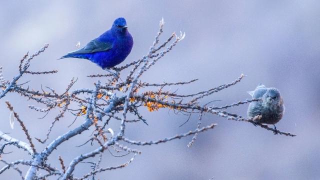 香格里拉飞羽天堂——每日观鸟台 蓝大翅鸲