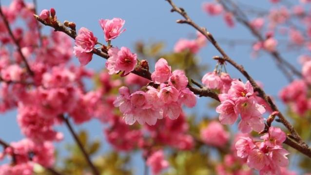 维西三江大道上的樱花开了