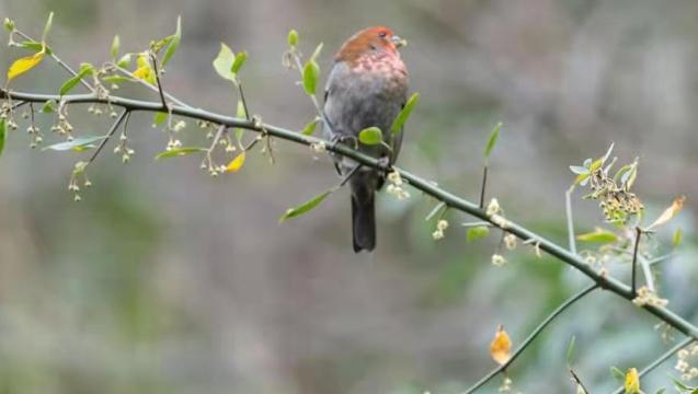 【香格里拉飞羽天堂——每日观鸟台】红眉松雀