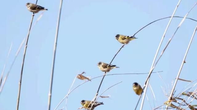【香格里拉飞羽天堂——每日观鸟台】黑头金翅雀