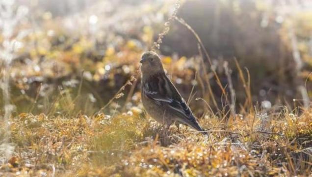 【香格里拉飞羽天堂——每日观鸟台】林岭雀