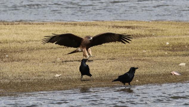 【香格里拉飞羽天堂—每日观鸟台】黑鸢