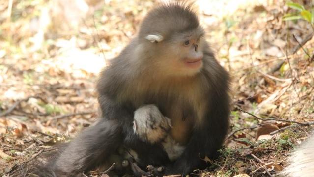 响古箐滇金丝猴群又迎来了一个新生命