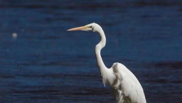 香格里拉飞羽天堂——每日观鸟台 大白鹭