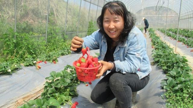 采摘草莓到我家 包你享受舌尖上的美味