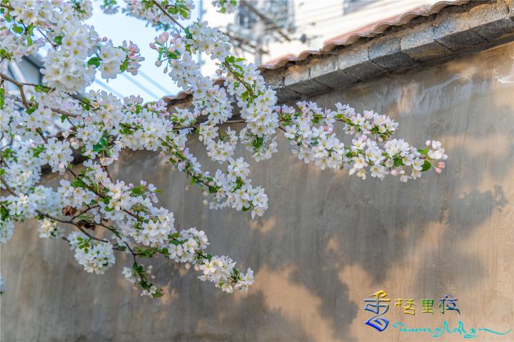 迪庆的海棠花开了,你要来看吗?