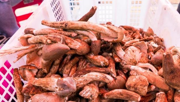 每市斤65元!新鲜上市的鸡枞菌你吃了吗?