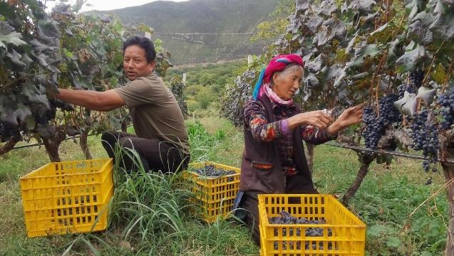 德钦葡萄成熟了