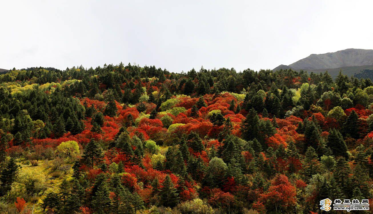 "【COP15】白马雪山上演""秋装大秀"""