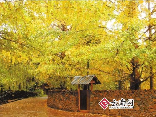 春天,夏天,秋天,冬天,银杏树叶分别是什么颜色的?