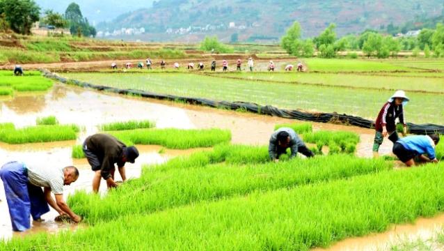 """云南罗平:百亩生态水稻基地喜迎""""开秧门"""""""