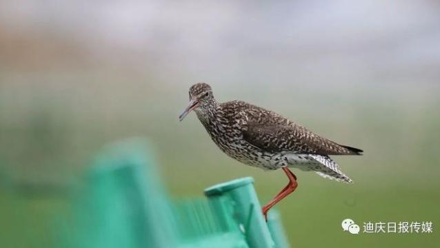 【COP 15】纳帕海湿地的浅水常客——红脚鹬