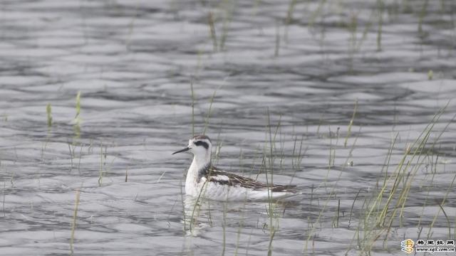 【COP15】这是迪庆州鸟类新纪录 一起去纳帕海看看